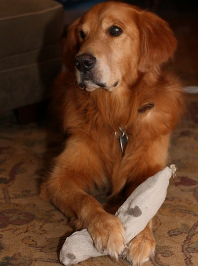 Golden retriever with tough hemp squeaky dog toy