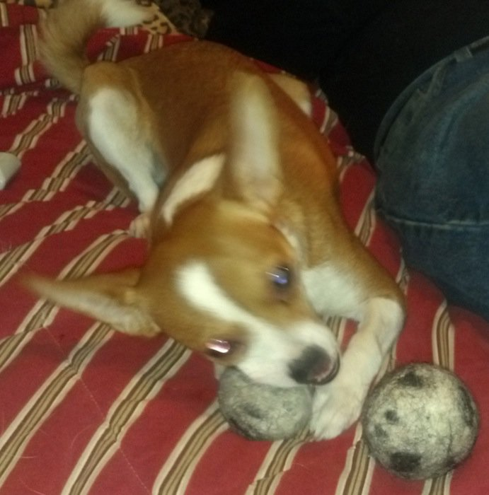 Small tan and white dog playing with organic wool dog  balls