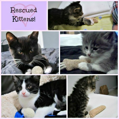 rescuekittens-collage.jpg